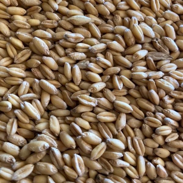 20mt Ford Wheat - Beardless / Awnless (Bulk or Bulka Bags)