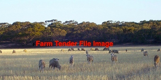 Stubbles for 1000 lambs