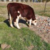 Hereford Steers 7 Head