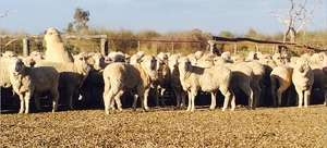 280 Merino Ewe Lambs For Sale