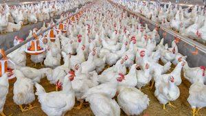 Regular Supply of Chickens