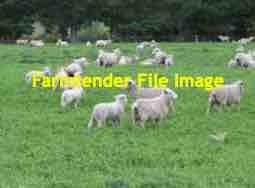 Sheep Agistment Available