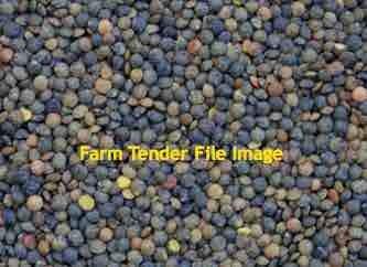 500kg's Jumbo 2 Lentil Seed