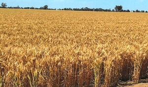 810 Acres of Prime Wimmera Cropping Land for Lease by Tender