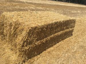 Windrowed Barley Straw