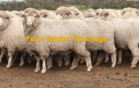 WANTED 200-400 Dry Merino Ewes