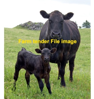 WANTED Angus Cows PTIC or Calves at foot