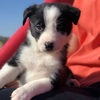 Kids Trained purebred  Border Collie , Christmas pups