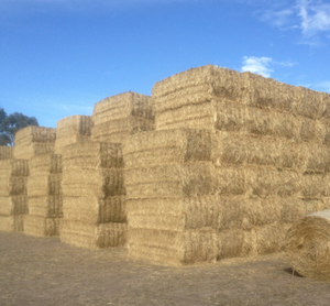 600 Large Squares of New Season Oaten Hay