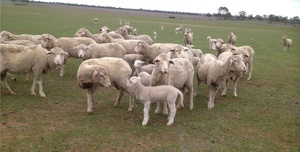 80 Merino Ewe's with 70 1st X Lambs at Foot For Sale