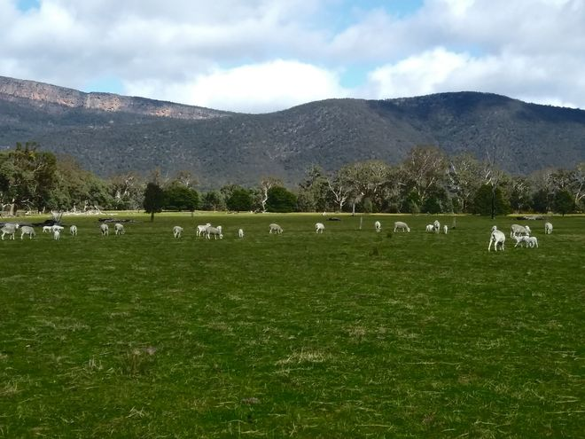 F2/F3 Australian White Ewes (185) with optional lambs at foot
