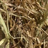 Wheaten Hay 8x4x3 Bales (New Season)