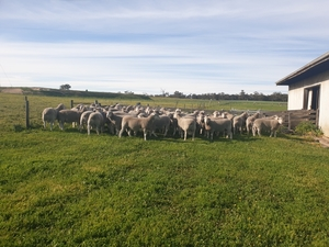 20 Poll Dorset & White Suffolk flock Rams