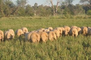 Charollais Rams