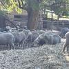 Quality MPM Black Tag Ewes