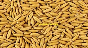 Yallara Oat Seed