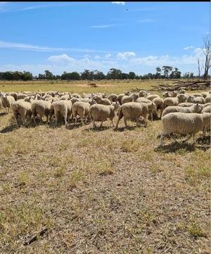 160 Prime line Maternal Ewes 18-19 months old