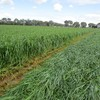 Young leafy Ryegrass Silage