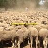WANTED 1,000 - 500 Merino Ewe Lambs