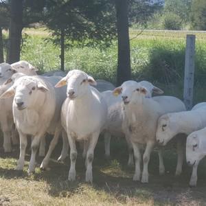 Australian White Ewes and Rams
