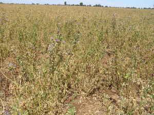Lucerne Seed