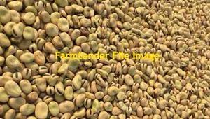3-400 m/t Samira Faba Beans