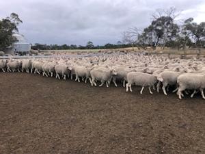 EOI - Approx 380 Black Tag & 260 Blue Tag MPM Merino Breeding Ewes