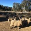 15 Merino Ewes with Lambs