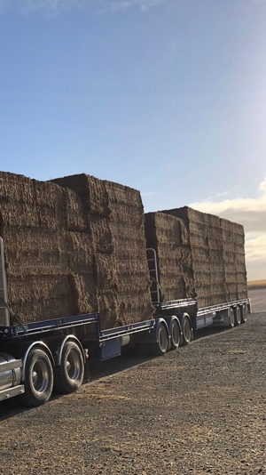1000m/t Shedded Vetch Hay Seller to Freight