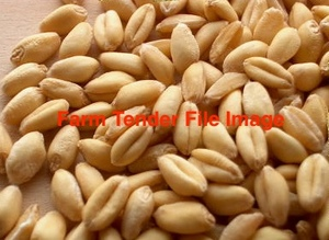 100mt Feed Wheat
