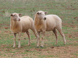 Aussie White/Wiltipoll cross ewe lambs