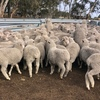 EOI - Approx 1500 MPM Merino Mixed Sex Lambs - WA