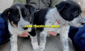 WANTED Female Border Collie X Pup