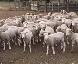 196 second cross lambs