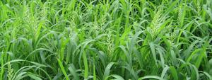 Shirohie Millet 2020 crop
