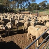194 Merino Ewes with 124 Lambs