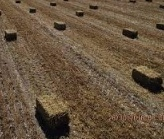 WANTED Pea Hay or Pea Straw Small Square Bales x 500