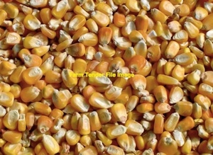 120/Mt Corn / Maize for sale with delivery