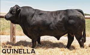 Raven SUPERIOR Black Limousin & Lim-Flex Bull Auction 25th of February 2021