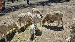 Merino/Dorper Sheep x 4