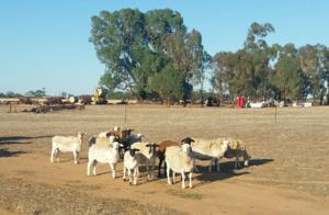 25 Dorper Ewes