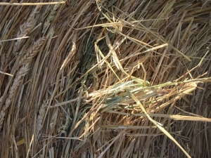 Under Auction - 250 8x4x3 Bales of Cereal Hay - Sold By The Ton -
