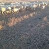 150 Merino Ewes 155 1st cross Lambs