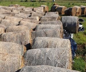 Non bearded wheaten hay