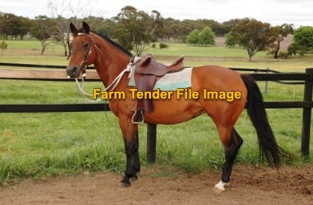 WANTED Stock Horse