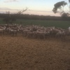 170 x 3yr Old Merino Ewes with Lambs