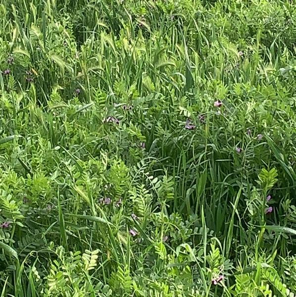 Cereal Vetch Hay