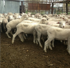 250 Cross X Bred Lambs For Sale
