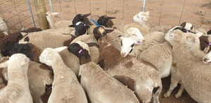 25 - 30 dorper ewe lambs ready to join now. ONO!