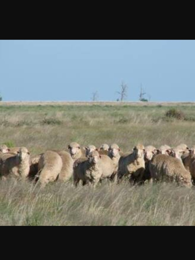Agistment or lease wanted for sheep